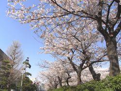 Sakura2011d.JPG